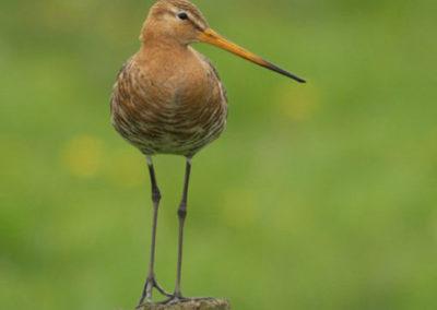 Plan van aanpak Akker- en weidevogels Drenthe