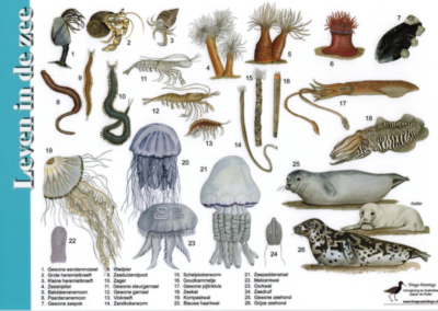 Streefbeeld onderwaternatuur Waddenzee